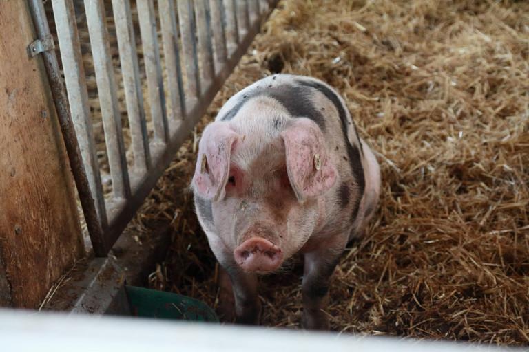 Bentheimer Schwein